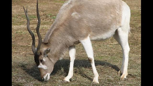Nature in Danger: The addax, a tough desert animal clings to existence